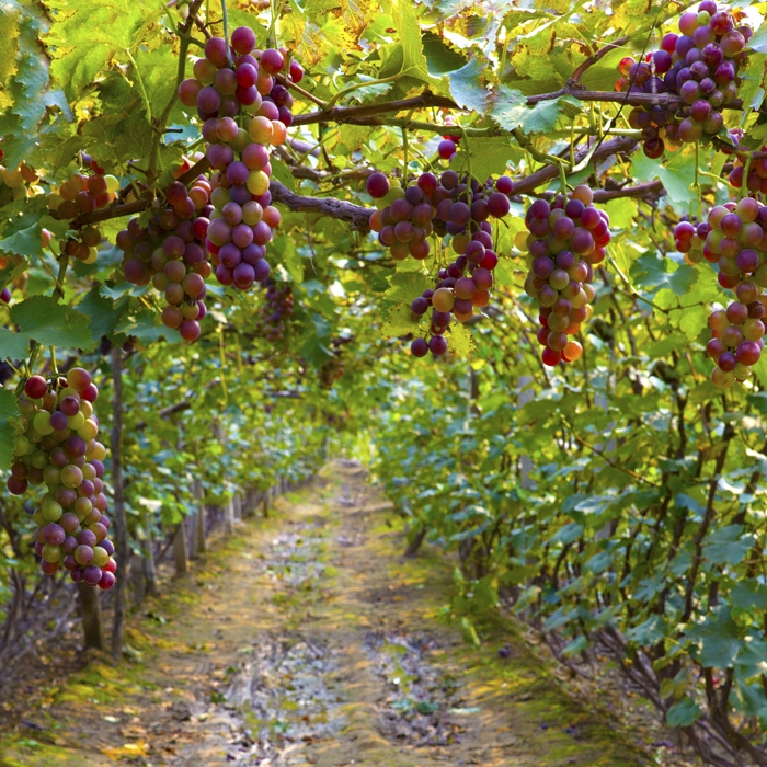 Grapes for Wine Tasting